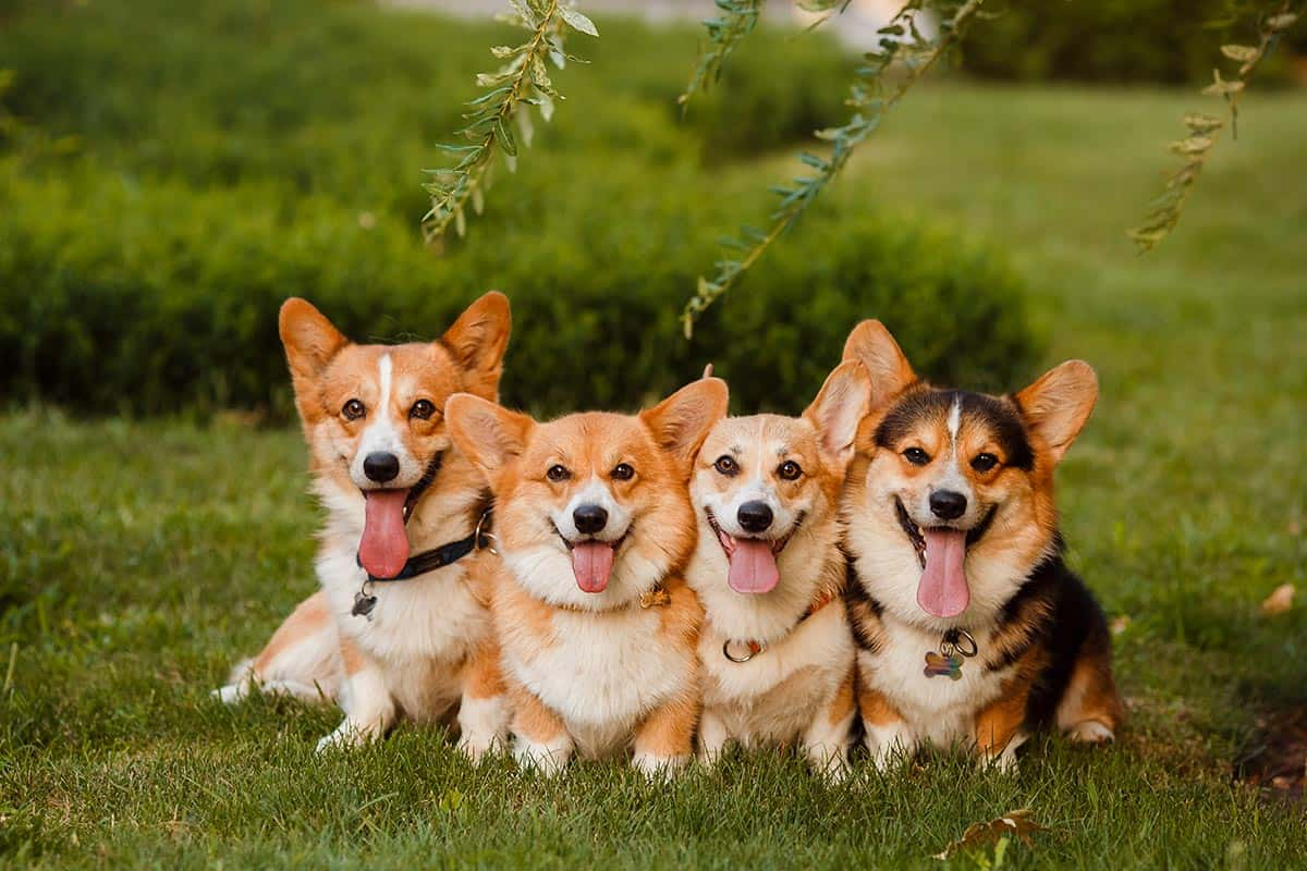 Best Dog Food for Corgis : Top Puppy, Adult & Senior Recommendations for 2020 31