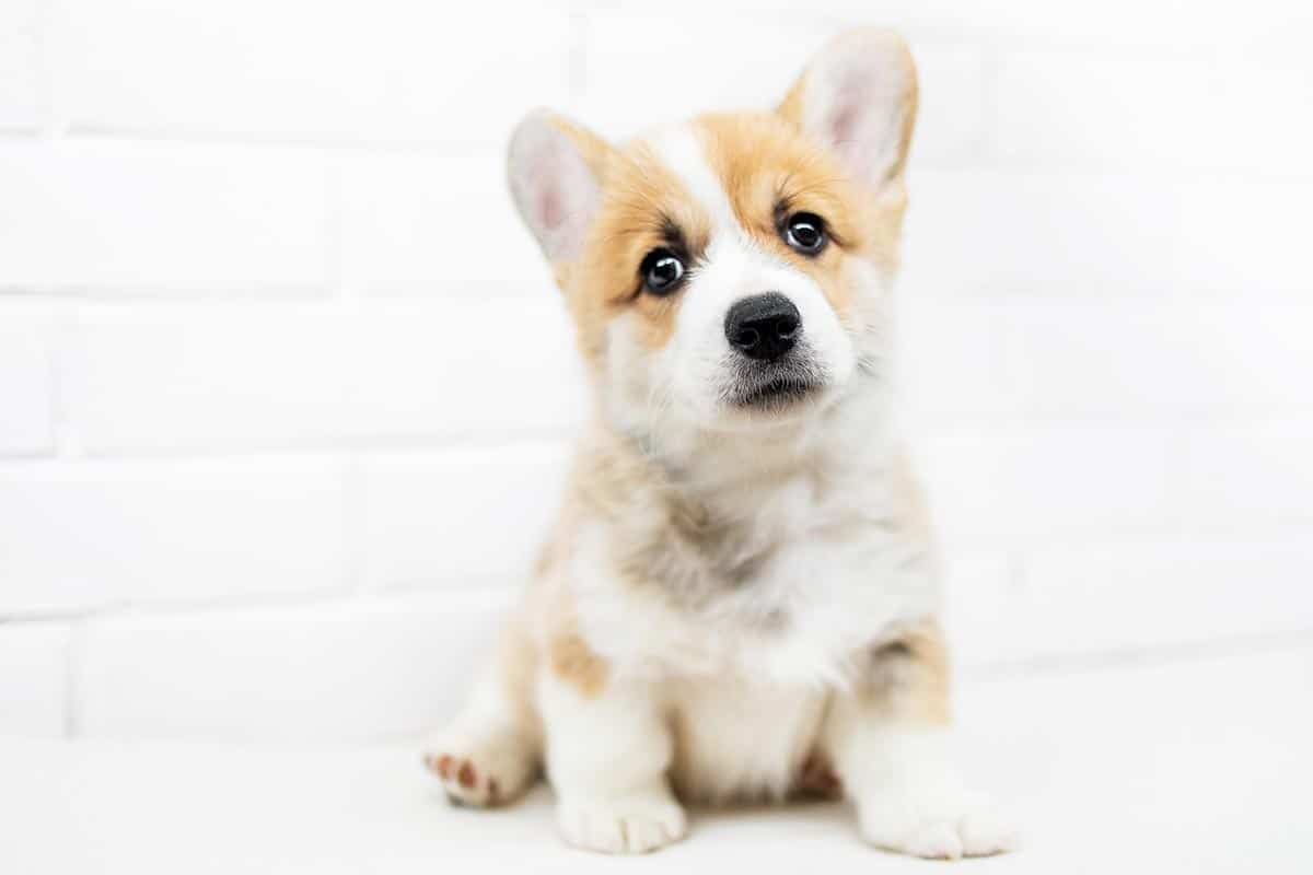 Best Dog Food for Corgis : Top Puppy, Adult & Senior Recommendations for 2020 30