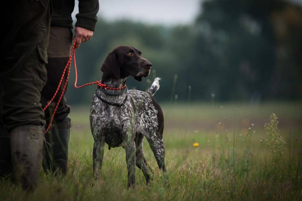 10 Best (Healthiest) Dog Foods for German Shorthaired Pointers in 2020 28