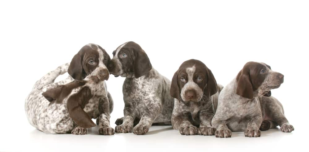 10 Healthiest & Best Dog Food for German Shorthaired Pointers in [year] 27