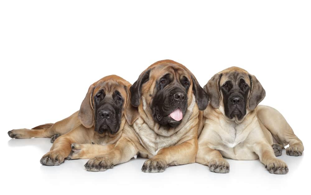 best dog food for Mastiffs