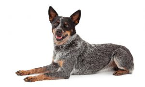 10 Best (Top Rated) Dog Foods for Australian Cattle Dogs in 2020 27