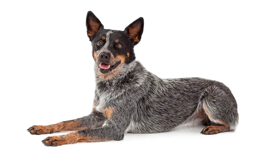 10 Best (Top Rated) Dog Foods for Australian Cattle Dogs in [year] 30