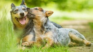 10 Best (Top Rated) Dog Foods for Australian Cattle Dogs in 2020 28