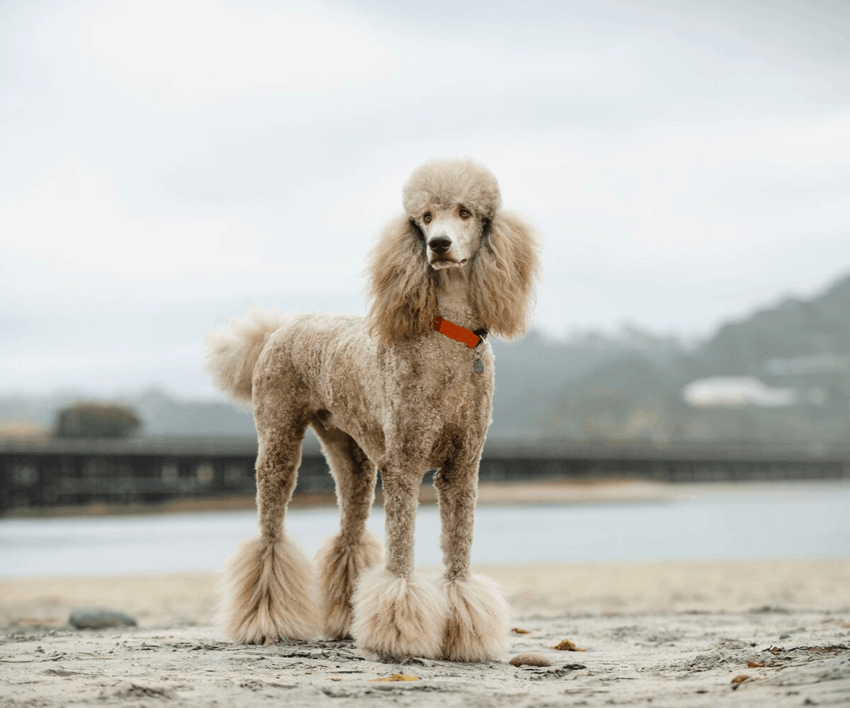 10 Best & Affordable Dog Foods for Poodles in 2020 32