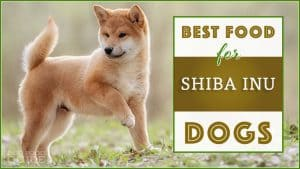 10 Best (Healthiest Options) Dog Foods for Shiba Inus in 2021 1
