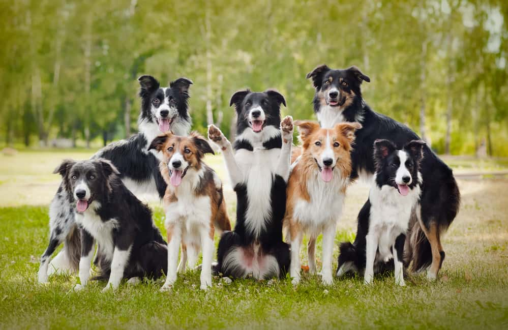 10 Best (Healthiest) Dog Food For Border Collies in 2020 30