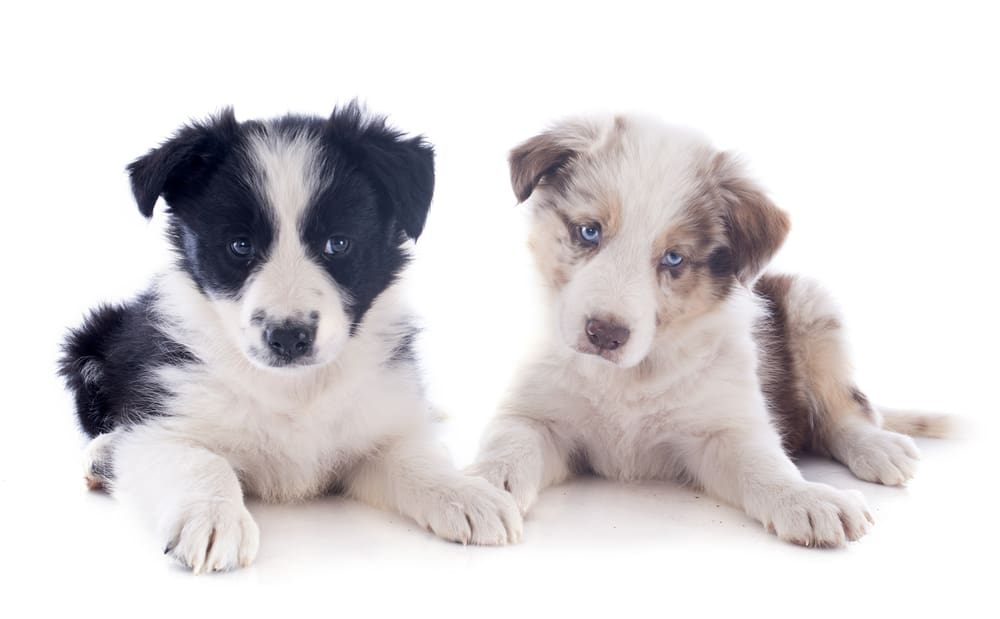 10 Best (Healthiest) Dog Food For Border Collies in 2020 29