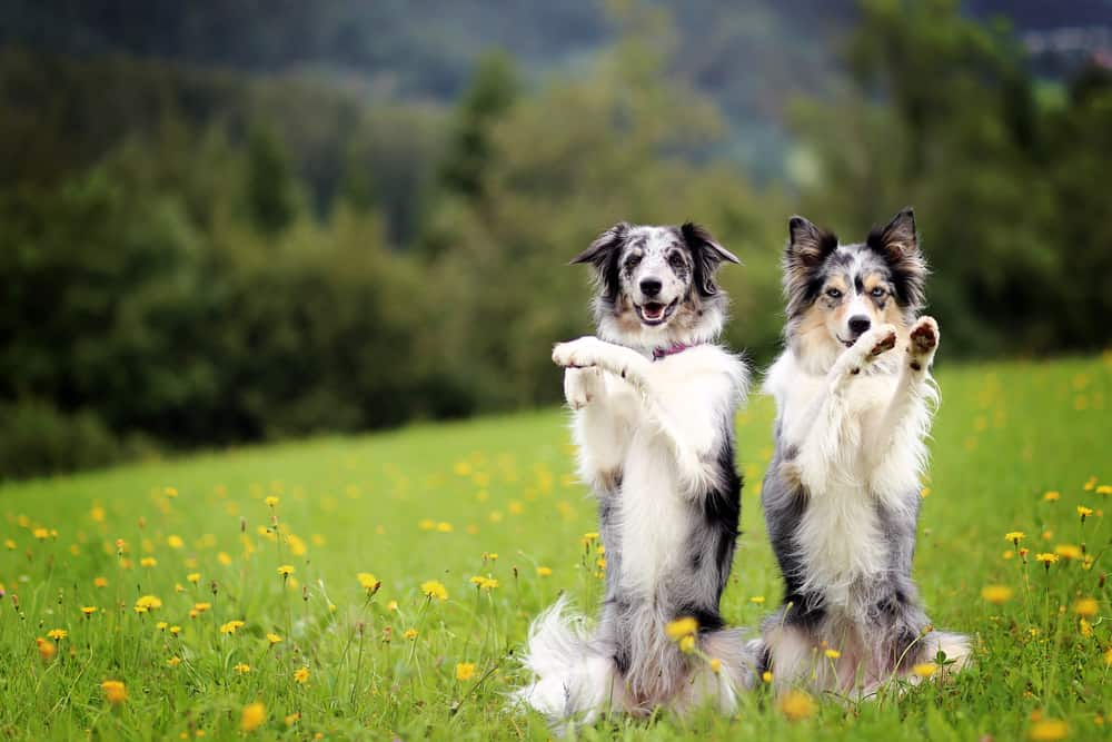 10 Best (Healthiest) Dog Food For Border Collies in 2020 28