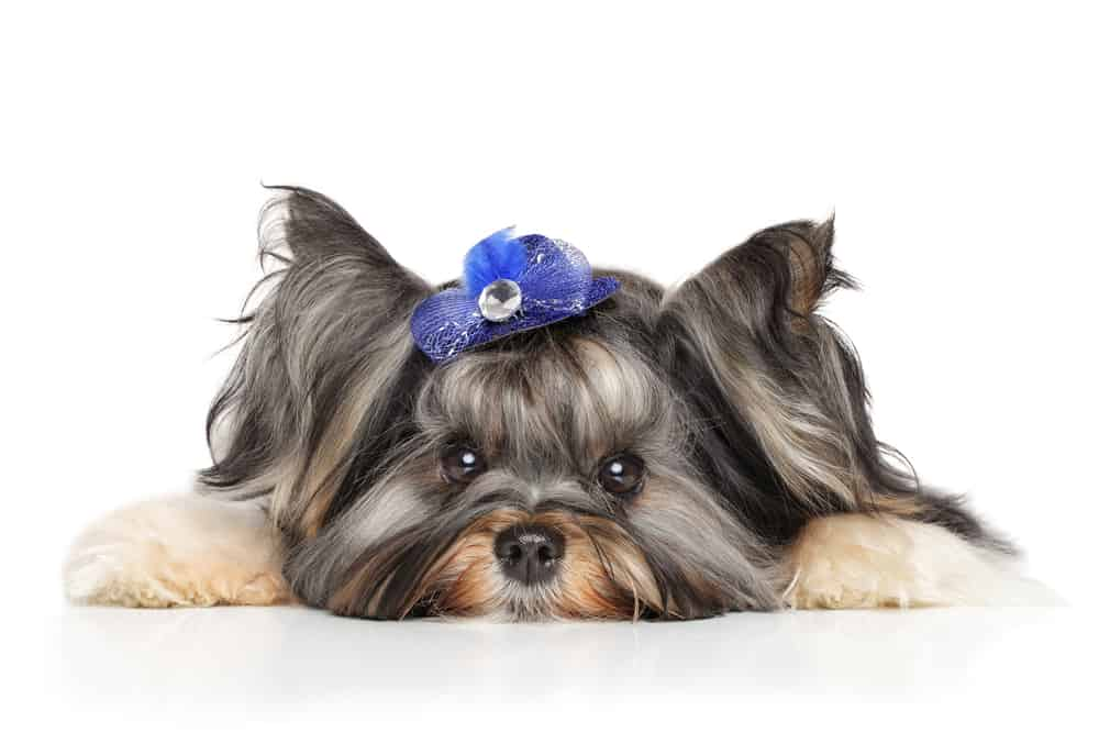 10 Best (Healthiest) Dog Food for Yorkies in 2020 27