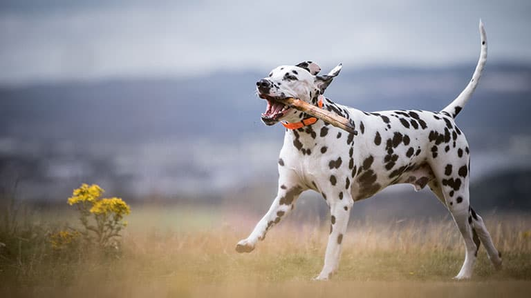 10 Best (Healthiest) Dog Food For Dalmatians In 2020 27