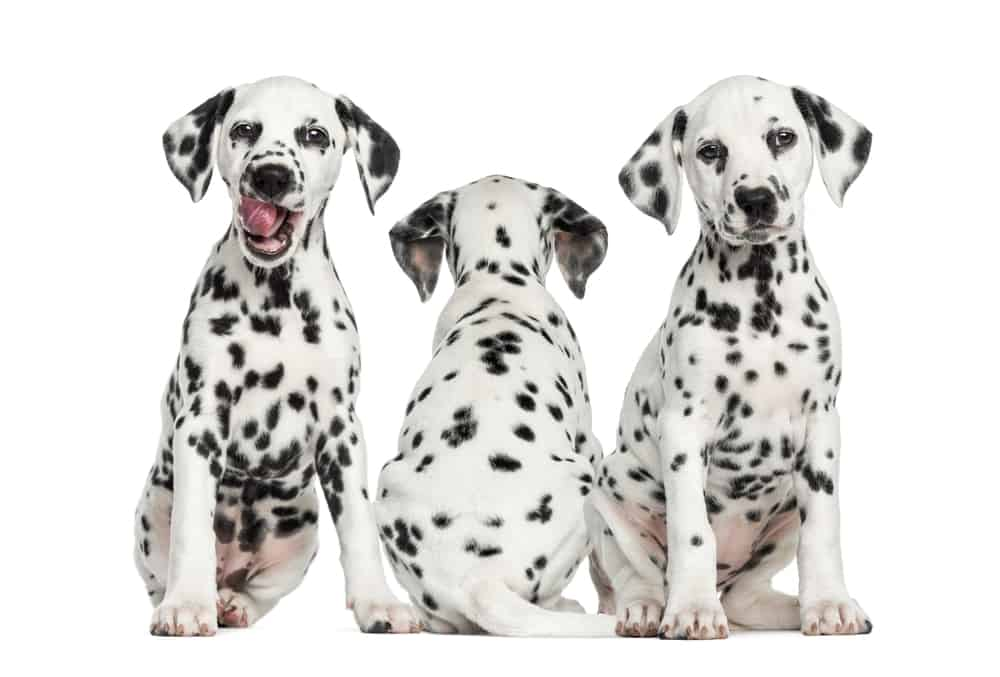 10 Best (Healthiest) Dog Food For Dalmatians In 2020 29