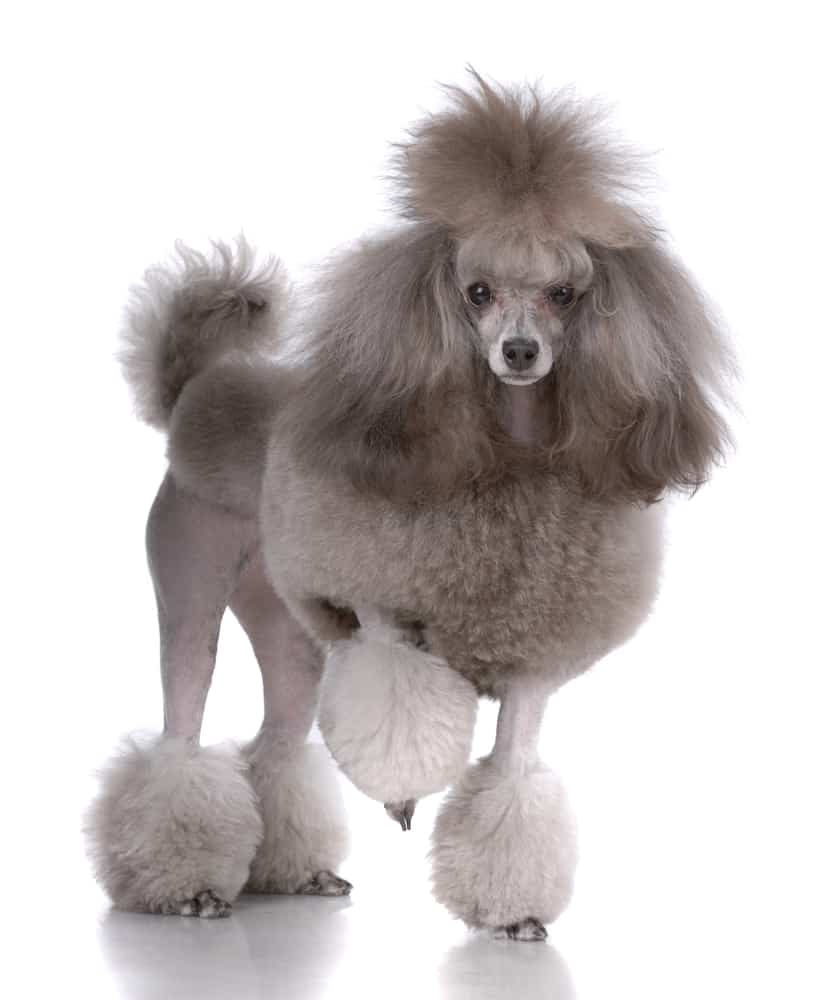 10 Affordable & Best Dog Food for Poodles in [year] 33