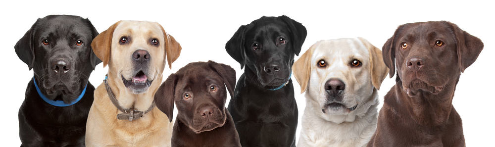 Best Dog Food for Labrador Retrievers