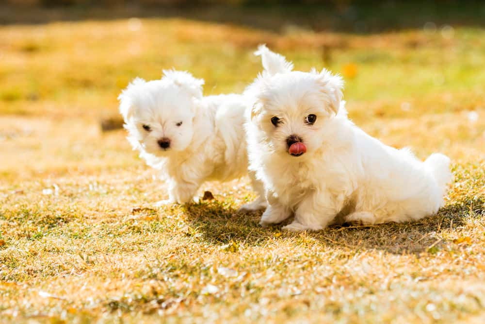 10 Best (Healthiest) Dog Food For Maltese in 2020 28