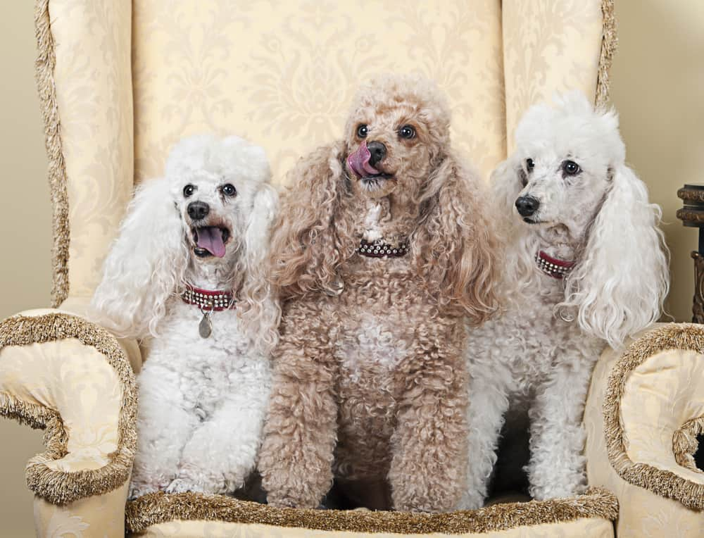10 Best & Affordable Dog Foods for Poodles in [year] 27