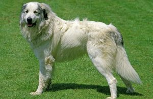 10 Best (Healthiest) Dog Food For Great Pyrenees for 2020 31