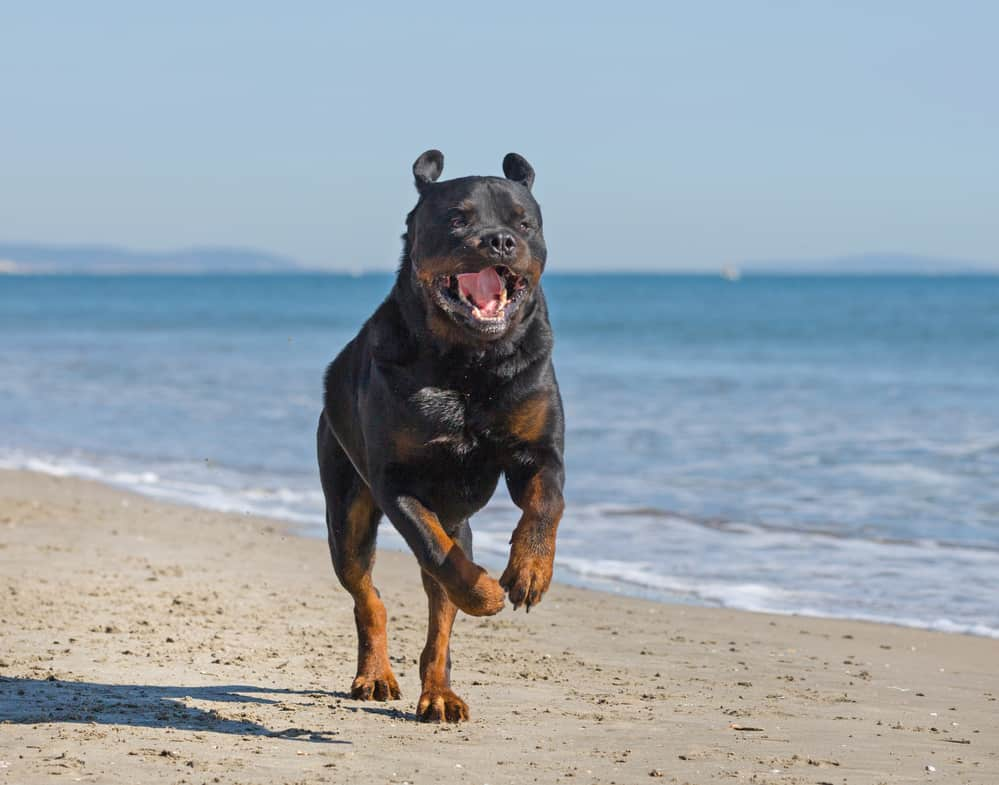 10 Best & Healthiest Dog Food For Rottweilers in 2020 28