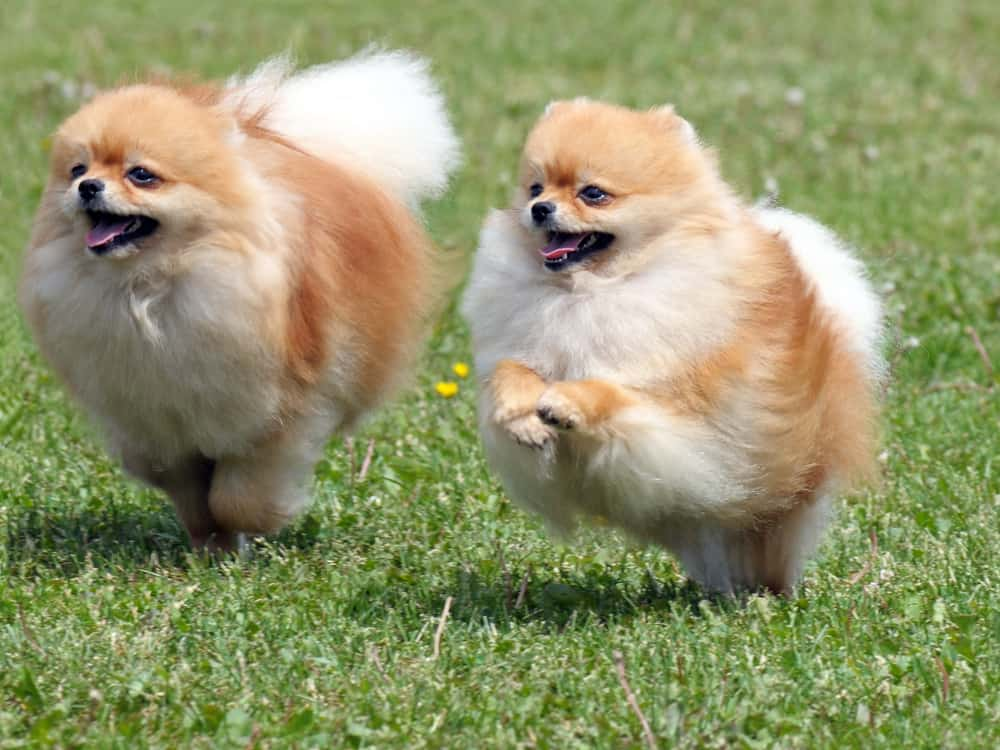 10 Best (Healthiest) Dog Food for Pomeranians In 2021 28