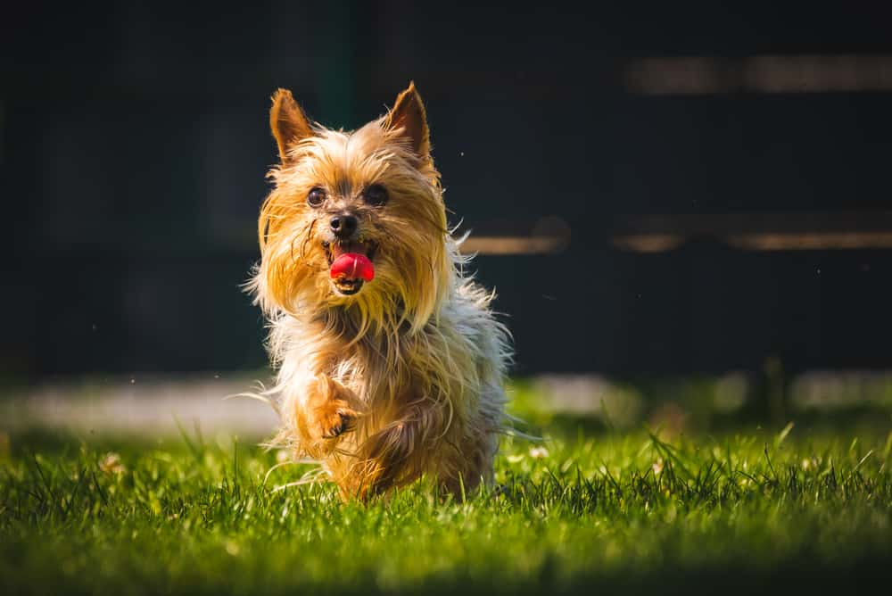 10 Best (Healthiest) Dog Food for Yorkies in 2020 28