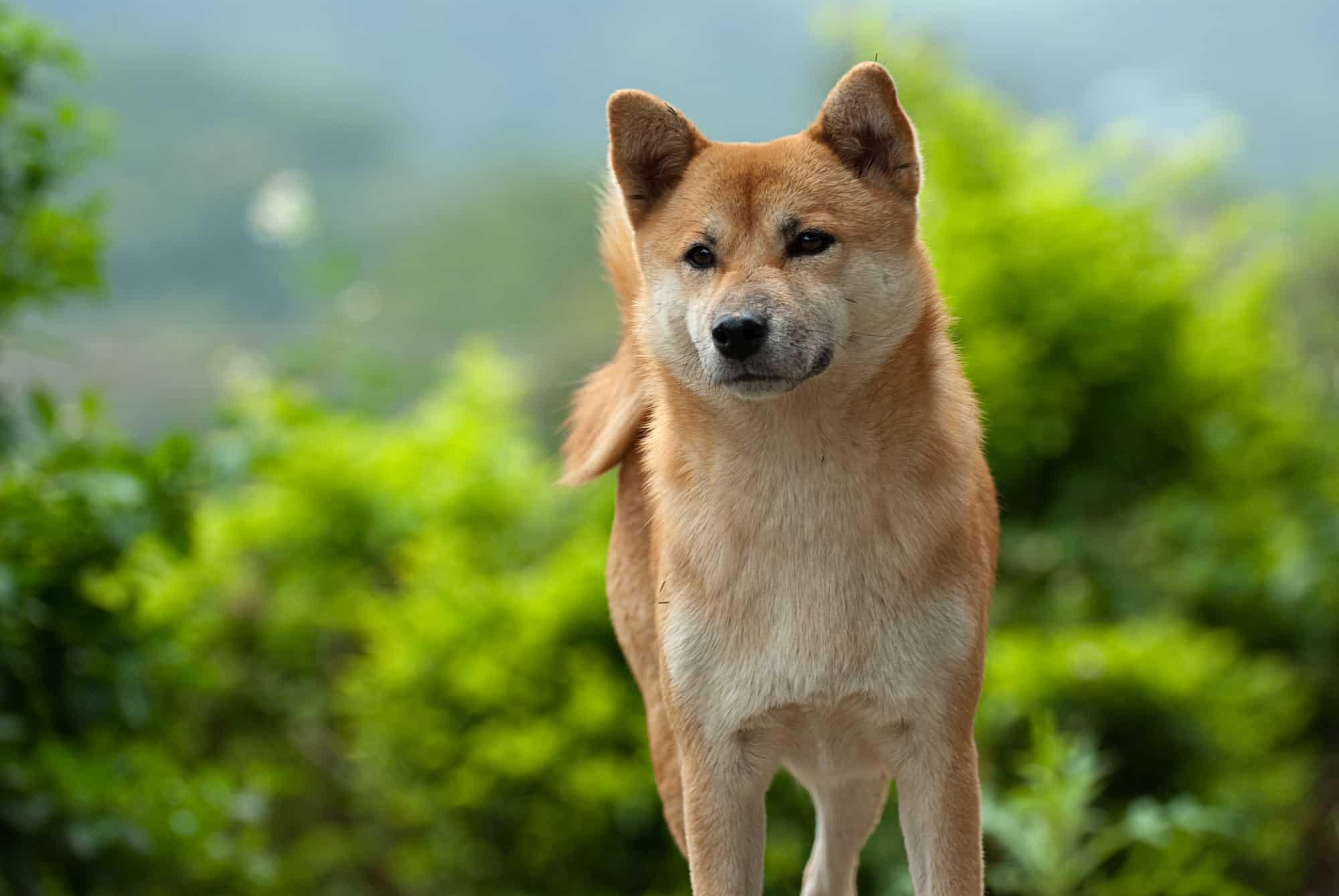 Dog foods for Shiba Inus