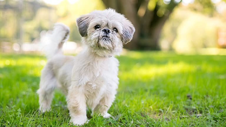 10 Best (Healthiest) Dog Foods for Shih Tzus in [year] 27