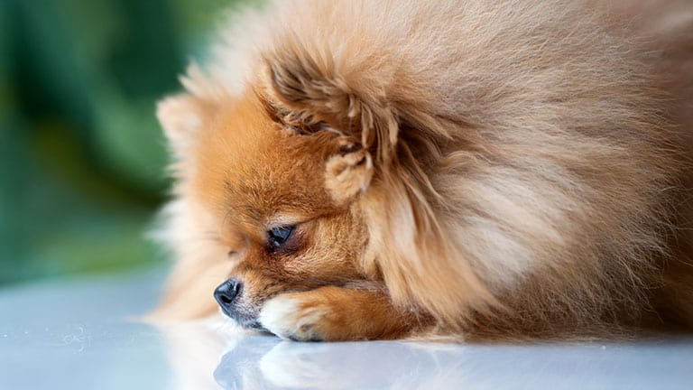 10 Best (Healthiest) Dog Food for Pomeranians In 2020 27