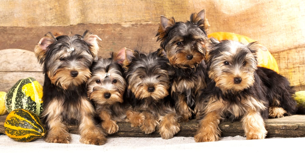10 Best (Healthiest) Dog Food for Yorkies in 2020 29