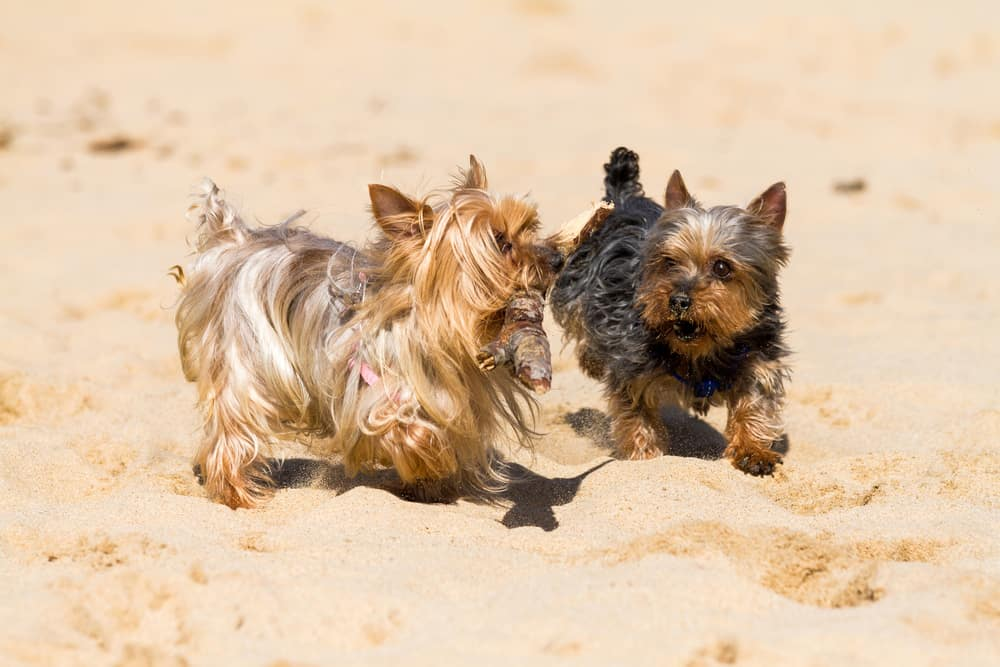 Best Dog Food for Yorkshire Terriers