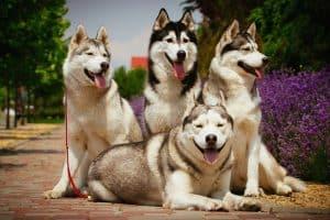 10 Best (Healthiest) Dog Foods For Alaskan Malamute in 2020 27