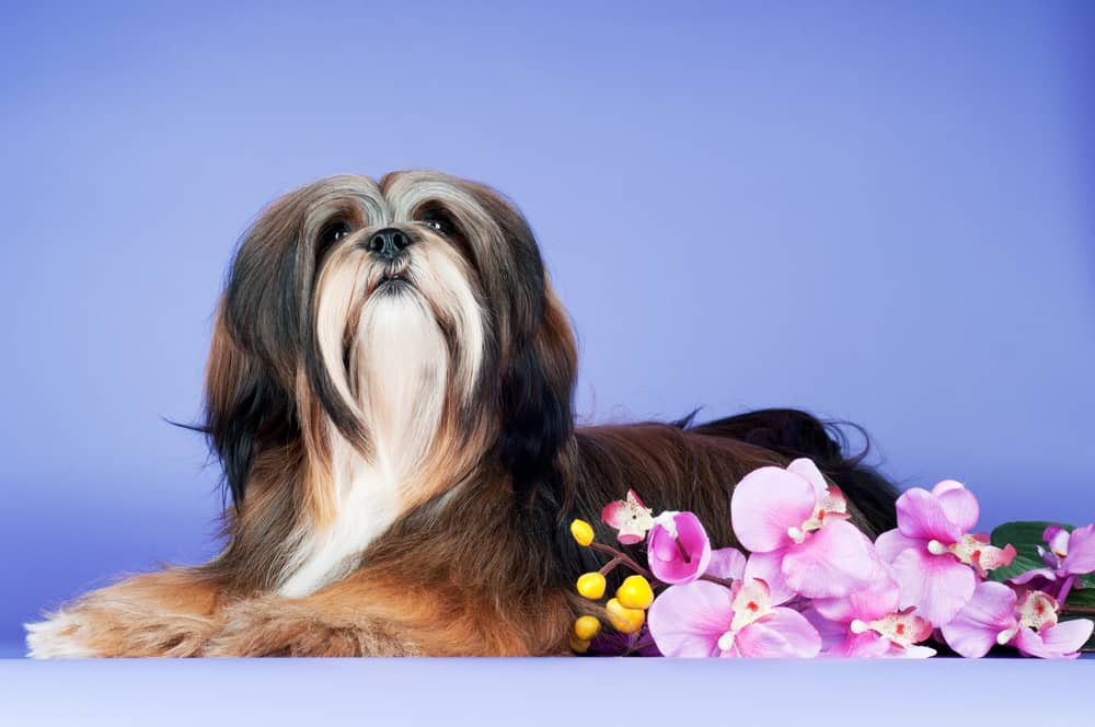 lhasa apso dog food