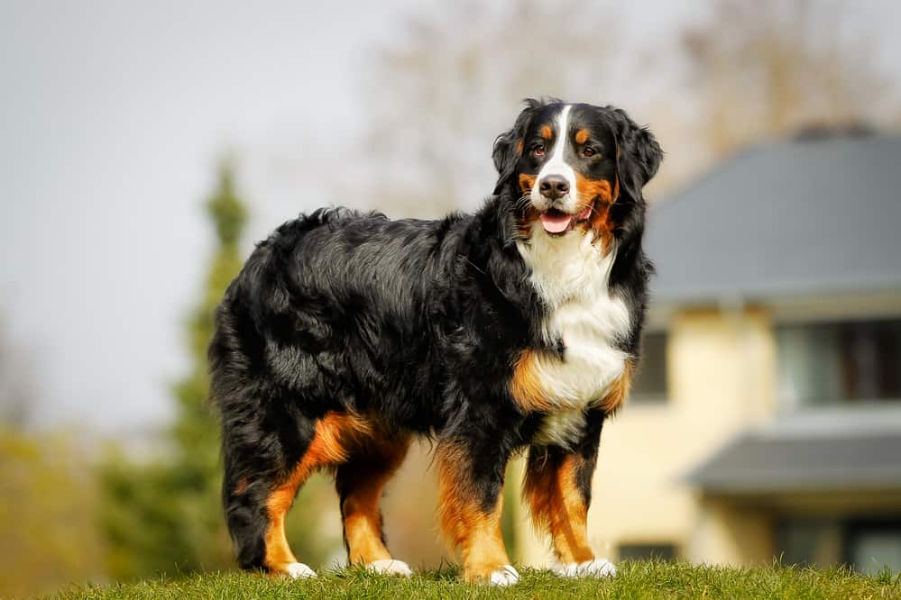 best dog food for Bernese mountain dog