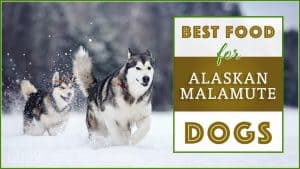 best dog foods for alaskan malamute