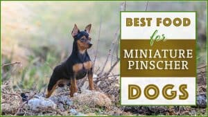 Best Dog Foods for Miniature Pinschers