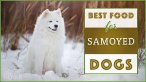 Best Dog Food for Samoyed