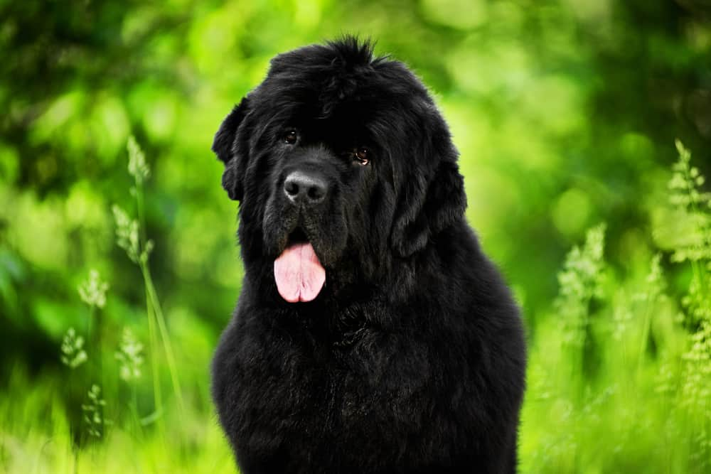 10 Best & Healthiest Dog Foods for Newfoundlands in 2020 29