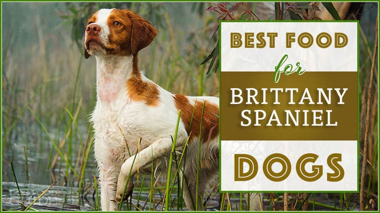 Best Dog Food For Brittany Spaniels
