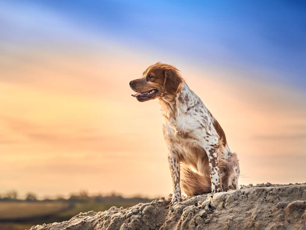 best dog food for brittany spaniel