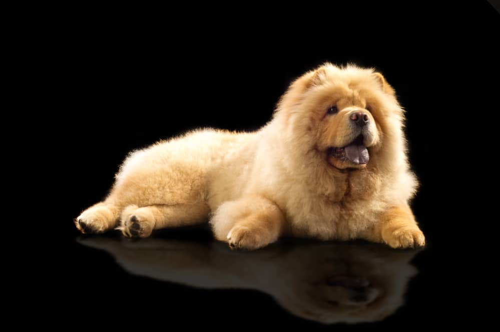 10 Best & Healthiest Dog Foods For Chow Chows in [year] 27