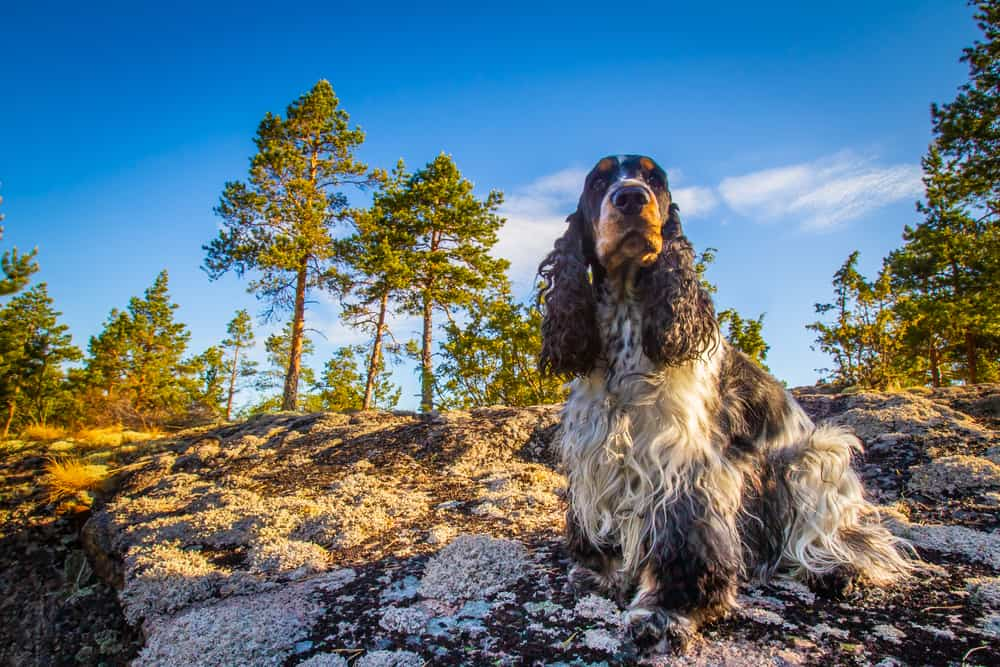 10 Best (Healthiest) Dog Foods For Cocker Spaniels in 2020 27