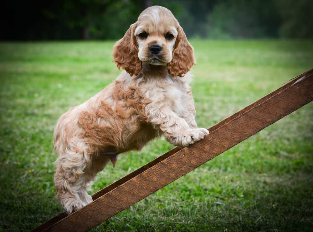10 Best (Healthiest) Dog Foods For Cocker Spaniels in 2020 29