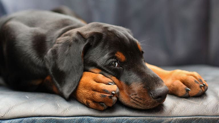 Best Food for Your Doberman Pinschers: Top Puppy, Adult & Senior Recommendations for 2021 27