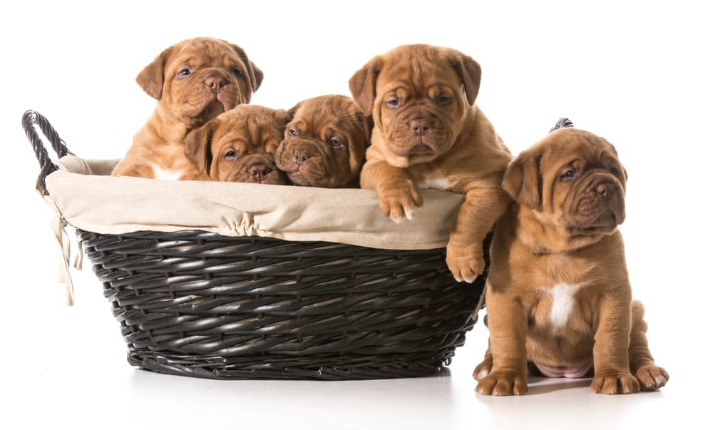 10 Best (Healthiest) Dog Food For Dogue De Bordeaux in 2020 30