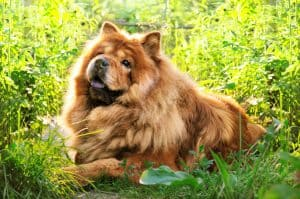 10 Best & Healthiest Dog Foods For Chow Chows in 2021 28