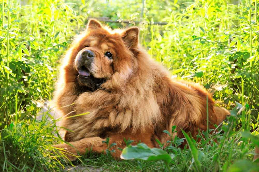 10 Best & Healthiest Dog Foods For Chow Chows in [year] 28