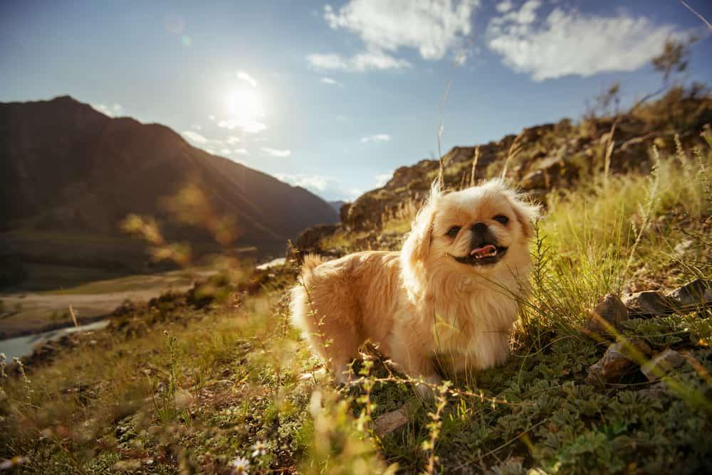 10 Healthiest & Best Dog Foods For Pekingese in 2020 27