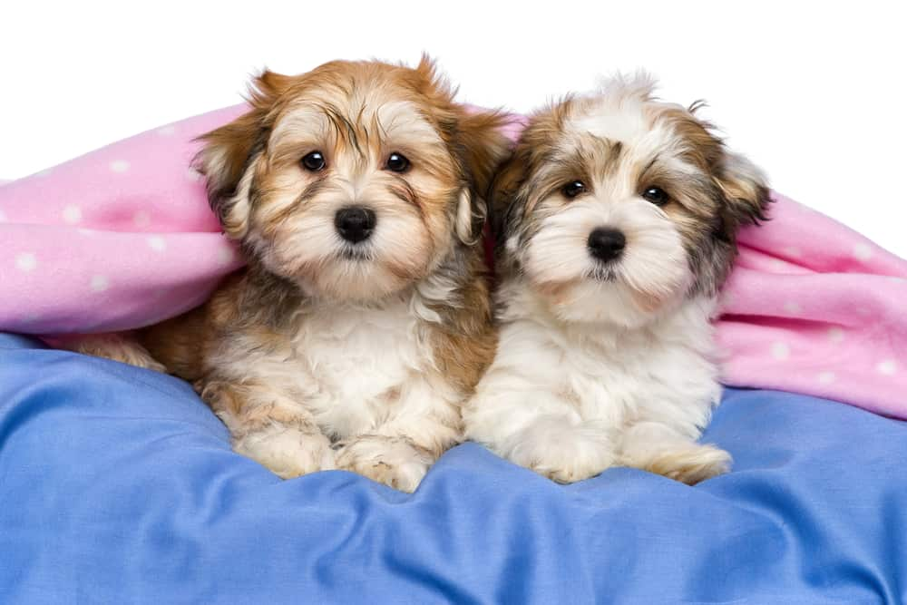 10 Best & Healthiest Dog Food for Havanese in 2021 28