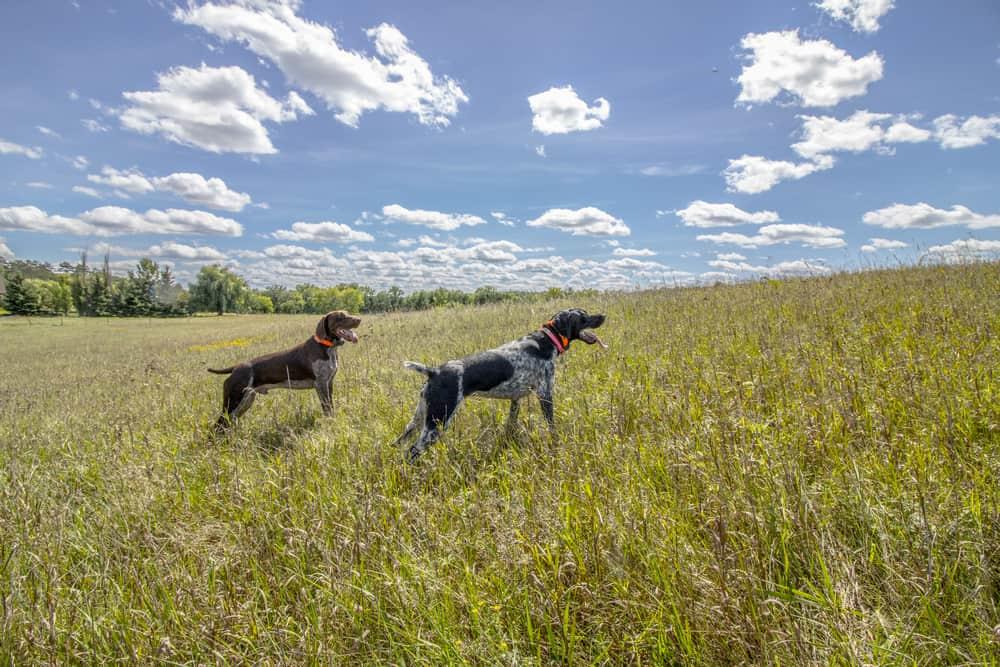 best dog food for coonhound
