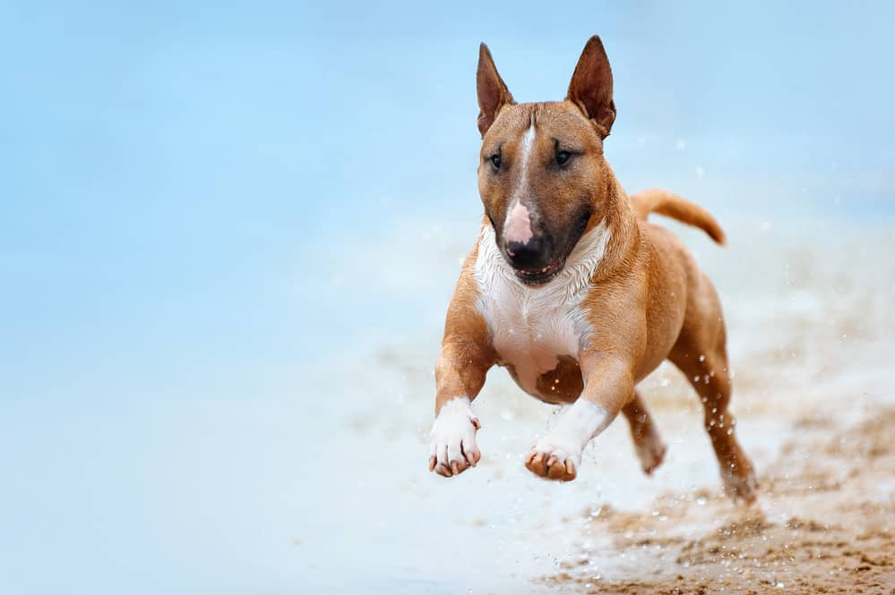 dog food for bull terrier