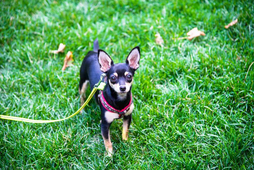 10 Best (Highest Quality) Dog Foods for Miniature Pinschers in 2021 30